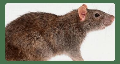 Rat & Mice Control Lara